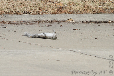 Noticed a Red-tailed Hawk fly by and land up in a tree  This is what it dropped  (Shot out front window)  Bridgeton, Mo  2018-02-16