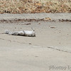 Noticed a Red-tailed Hawk fly by and land up in a tree <br /> This is what it dropped <br /> (Shot out front window) <br /> Bridgeton, Mo <br /> 2018-02-16
