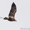 Bald Eagle <br /> Columbia Bottom Conservation Area