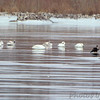 Trumpeter Swans and Bald Eagle <br /> Ellis Bay <br /> Riverlands Migratory Bird Sanctuary
