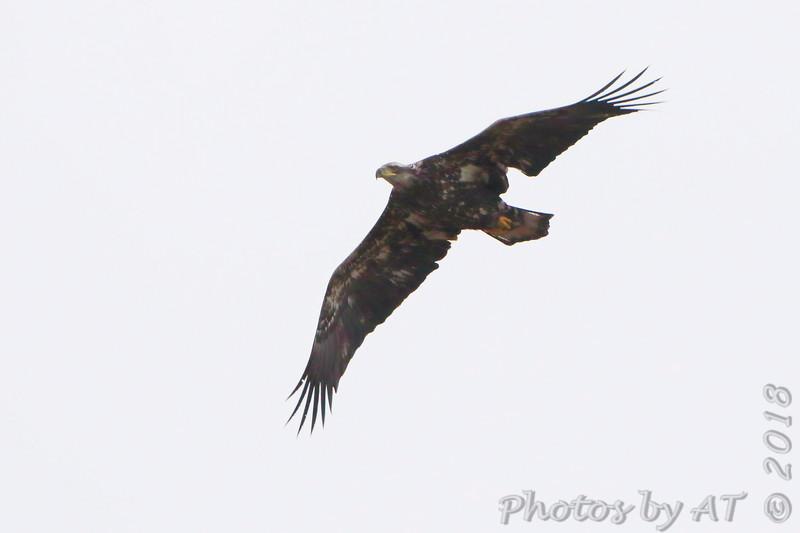 Bald Eagle <br /> Columbia Bottom Conservation Area