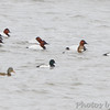 Canvasbacks and Lesser Scaup <br /> Mallard (?) <br /> Below Melvin Price Dam <br /> Riverlands Migratory Bird Sanctuary