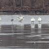 Sandhill Crane and Trumpeter Swans <br /> Ellis Bay <br /> Riverlands Migratory Bird Sanctuary