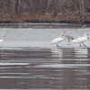 Sandhill Crane <br /> Tundra and Trumpeter Swans <br /> Ellis Bay <br /> Riverlands Migratory Bird Sanctuary