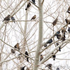 Red-winged Blackbirds and Brown-headed Cowbirds <br /> Columbia Bottom Conservation Area