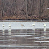 Sandhill Crane and Trumpeter Swans <br /> Ellis Bay <br /> Riverlands Migratory Bird Sanctuary