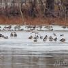 Sandhill Crane <br /> Ellis Island Lagoon <br /> Riverlands Migratory Bird Sanctuary
