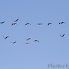 Greater White-fronted Geese <br /> Riverlands Migratory Bird Sanctuary