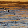 Lesser Black-backed Gull <br /> and Herring Gull <br /> Below Melvin Price Dam <br /> Riverlands Migratory Bird Sanctuary
