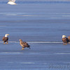 Bald Eagles <br /> Ellis Bay <br /> Riverlands Migratory Bird Sanctuary