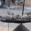 Mourning Doves <br /> Bridgeton, Mo.<br /> 2018-01-14