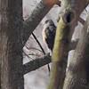 Cooper's Hawk <br /> Bridgeton, Mo<br /> 2018-01-30