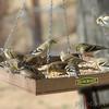 American Goldfinches <br /> Bridgeton, Mo<br /> 2018-01-31