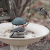 Red-bellied Woodpecker <br /> and House Sparrow <br /> Bridgeton, Mo.<br /> 2018-01-14