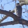 Cooper's Hawk <br /> Bridgeton, Mo<br /> 2018-01-28