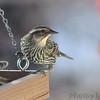 Red-winged Blackbird (female) <br /> Bridgeton, Mo<br /> 2018-01-28