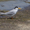 Least Tern <br /> Across from Teal Pond <br /> Ellis Bay <br /> Riverlands Migratory Bird Sanctuary