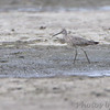 Willet (1 of 2)<br /> Out from observation tower by spillway <br /> Ellis Bay <br /> Riverlands Migratory Bird Sanctuary