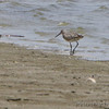Willet ( 1 of 3 )<br /> Across from Teal Pond <br /> Ellis Bay <br /> Riverlands Migratory Bird Sanctuary