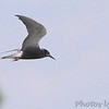 Black Tern <br /> Horseshoe Lake State Park Illinois