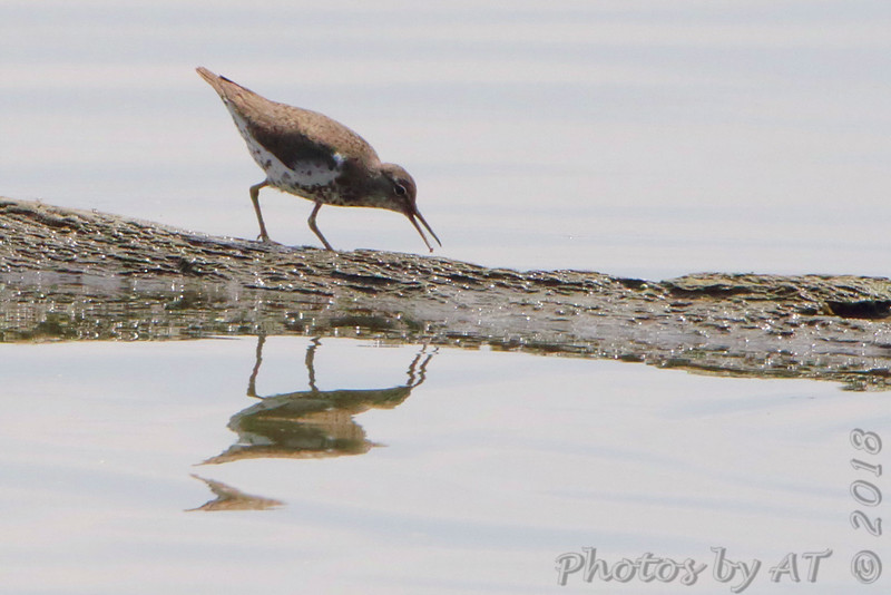 Spotted Sandpiper <br /> Horseshoe Lake State Park Illinois