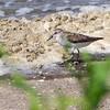 Least Sandpiper <br /> Lower Ellis Bay <br /> Riverlands Migratory Bird Sanctuary <br /> 7/21/18