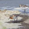 Sanderlings <br /> Lower Ellis Bay <br /> Riverlands Migratory Bird Sanctuary <br /> 7/21/18