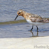 Sanderling <br /> Lower Ellis Bay <br /> Riverlands Migratory Bird Sanctuary <br /> 7/21/18