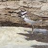 Killdeer <br /> Lower Ellis Bay <br /> Riverlands Migratory Bird Sanctuary <br /> 7/21/18