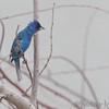 Indigo Bunting <br /> Upper Ellis Bay <br /> Riverlands Migratory Bird Sanctuary <br /> 7/21/18