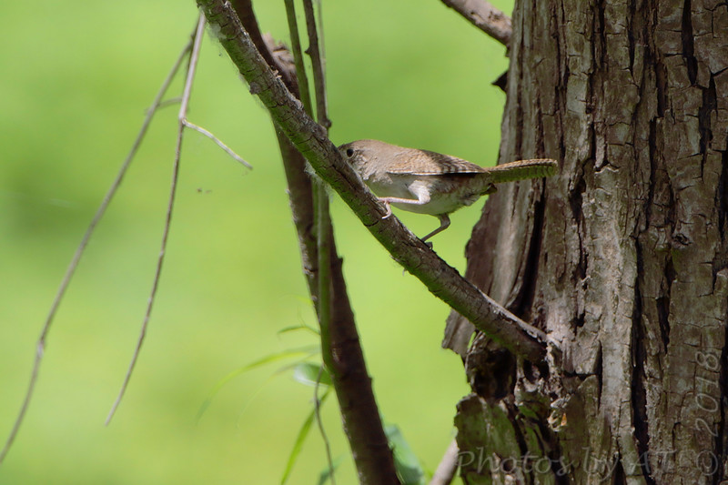 House Wren <br /> From boardwalk <br /> Columbia Bottom Conservation Area