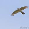 Peregrine Falcon <br /> Columbia Bottom Conservation Area