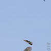 Peregrine Falcon <br /> Being harassed by Eastern Kingbird and Red-winged Blackbird <br /> Columbia Bottom Conservation Area
