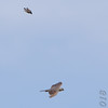 Peregrine Falcon <br /> Being harassed by Eastern Kingbird<br /> Columbia Bottom Conservation Area