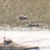 Black-bellied Plover  <br /> (crop of next photo) <br /> Lincoln Shields Area <br /> Riverlands Migratory Bird Sanctuary