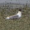 Franklin's Gull? (temp photo)<br /> Ellis bay <br /> Riverlands Migratory Bird Sanctuary