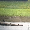Black-bellied Plover <br /> (about 2000 ft across bay) <br /> Lincoln Shields Area <br /> Riverlands Migratory Bird Sanctuary