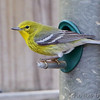 Pine Warbler <br /> Busch Wildlife Conservation Area