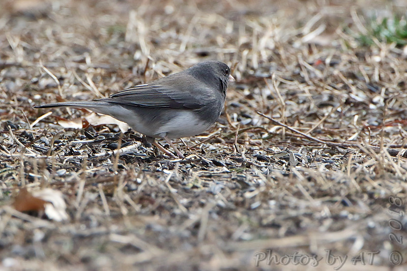Dark-eyed Junco <br /> Busch Wildlife Conservation Area