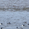 White-winged Scoter <br /> Ruddy Ducks and Lesser Scaup <br /> Ellis Bay <br /> Just up bay from jetty by dam <br /> 2018-03-25 Riverlands Migratory Bird Sanctuary