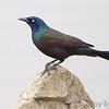 Common Grackle (Bronzed)<br /> Ellis Bay <br /> Riverlands Migratory Bird Sanctuary