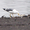 Lesser Black-backed Gull<br /> Ellis Bay <br /> Riverlands Migratory Bird Sanctuary