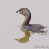 Pied-billed Grebe<br /> Ellis Bay <br /> Riverlands Migratory Bird Sanctuary