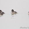 Bufflehead  (female)<br /> Ellis Bay <br /> Riverlands Migratory Bird Sanctuary