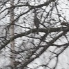 """Cooper's Hawk  <br> Bridgeton, Mo <br> 2018-03-11 12:45pm <br>  <span class=""""noShowSmart""""> <a href=""""/MyKeywords/Bird-Videos/n-gF9bt/i-3p5ZJGV/A""""> <span style=""""color:yellow"""">Click here to open video in lightbox/full screen</span></a> </span>  <span class=""""noShowGallery""""> <a href=""""/Birds/2018-Birding/Birding-2018-March/2018-March-Yardbirds/i-3p5ZJGV/A""""> <span style=""""color:yellow"""">Click here to open video in lightbox/full screen</span></a> </span>"""