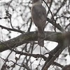 """Cooper's Hawk  <br> Bridgeton, Mo <br> 2018-03-11 12:13pm <br>  <span class=""""noShowSmart""""> <a href=""""/MyKeywords/Bird-Videos/n-gF9bt/i-3wbCkJ6/A""""> <span style=""""color:yellow"""">Click here to open video in lightbox/full screen</span></a> </span>  <span class=""""noShowGallery""""> <a href=""""/Birds/2018-Birding/Birding-2018-March/2018-March-Yardbirds/i-3wbCkJ6/A""""> <span style=""""color:yellow"""">Click here to open video in lightbox/full screen</span></a> </span>"""