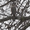 """Cooper's Hawk  <br> Bridgeton, Mo <br> 2018-03-11 12:46pm <br>  <span class=""""noShowSmart""""> <a href=""""/MyKeywords/Bird-Videos/n-gF9bt/i-ZzBKNJQ/A""""> <span style=""""color:yellow"""">Click here to open video in lightbox/full screen</span></a> </span>  <span class=""""noShowGallery""""> <a href=""""/Birds/2018-Birding/Birding-2018-March/2018-March-Yardbirds/i-ZzBKNJQ/A""""> <span style=""""color:yellow"""">Click here to open video in lightbox/full screen</span></a> </span>"""