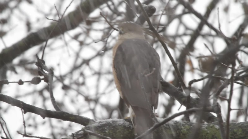 """Cooper's Hawk  <br> Bridgeton, Mo <br> 2018-03-11 12:47pm <br>  <span class=""""noShowSmart""""> <a href=""""/MyKeywords/Bird-Videos/n-gF9bt/i-gVKKZDB/A""""> <span style=""""color:yellow"""">Click here to open video in lightbox/full screen</span></a> </span>  <span class=""""noShowGallery""""> <a href=""""/Birds/2018-Birding/Birding-2018-March/2018-March-Yardbirds/i-gVKKZDB/A""""> <span style=""""color:yellow"""">Click here to open video in lightbox/full screen</span></a> </span>"""