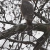 """Cooper's Hawk  <br> Bridgeton, Mo <br> 2018-03-11 12:45pm <br>  <span class=""""noShowSmart""""> <a href=""""/MyKeywords/Bird-Videos/n-gF9bt/i-vLn6MBj/A""""> <span style=""""color:yellow"""">Click here to open video in lightbox/full screen</span></a> </span>  <span class=""""noShowGallery""""> <a href=""""/Birds/2018-Birding/Birding-2018-March/2018-March-Yardbirds/i-vLn6MBj/A""""> <span style=""""color:yellow"""">Click here to open video in lightbox/full screen</span></a> </span>"""