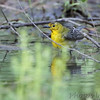 Prothonotary Warbler <br /> Riverwoods Park and Trail <br /> Bridgeton, Mo.